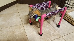 Grey fox with a spinal injury
