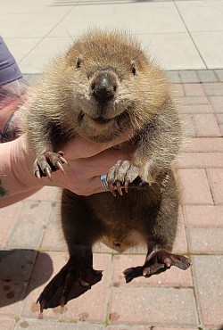 Beavers are so cute