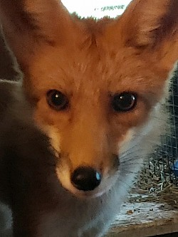 Tippy red fox
