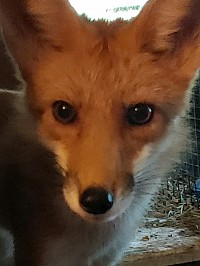 Tippy the Red Fox